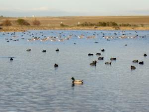 Las fochas de la laguna  dejan paso a una  procesión de gansos comunes. En primer término: un ánade real. (Laguna de Villafáfila, Zamora)