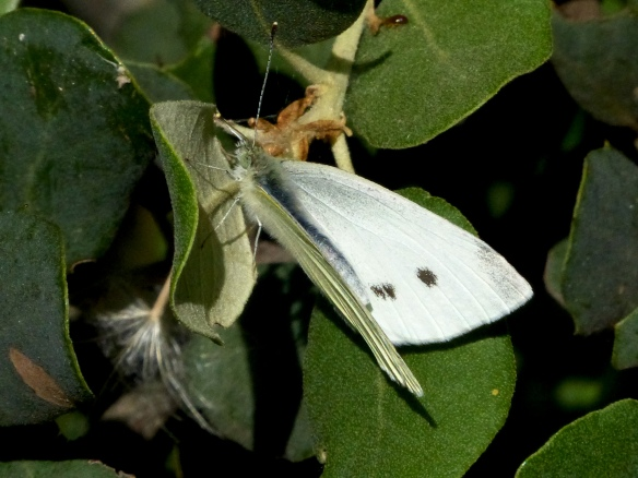 Mariposa hembra con las dos manchas o motas que la caracterizan.