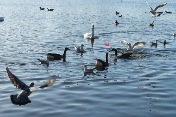 En la imagen, la flecha roja señala el Ganso del Canadá que lleva el alimento en el pico. A la izquierda, una paloma atrevida vuela hacia este grupo perseguidor. In the picture, the red arrow points to the Canada goose that carries food in its beak. On the left, a daring pigeons flies into this tracker group.