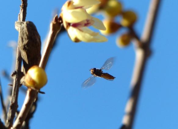 Mosca cernidora volando hacia las flores.