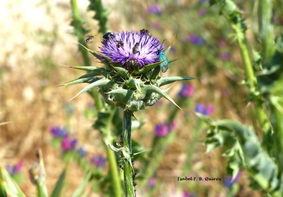 Cada uno a lo suyo: en la flor hay cabida para Adscita, una mariposa de color verde-azulado metálico (familia Zigaénidos), una mosca (Díptero), tres abejitas (Himenópteros) y dos escarabajos (Coleópteros). Y en el tallo: pulgones (Hemípteros, Homópteros) y hormigas que se alimentan de sus secreciones (Himenópteros).